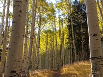 Aspens showing their fall colors on the Inner Basin Loop - Flagstaff AZ