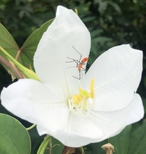Assassin bug in white orchid tree flower OC