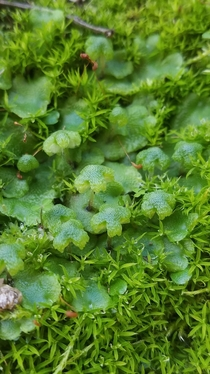 Asterella californica a thalloid liverwort in a bed of moss