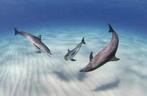 Atlantic Spotted Dolphins Stenella frontalis having an underwater chat John Gaskell