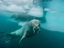 Atlantic walruses swim amid ice floes off the coast of Greenland