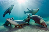Australian Sea Lions Neophoca cinerea swim and play in the shallows of Hopkins Island South Australia Michael Patrick ONeill