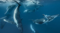 Australian underwater photographer Darren Jew sets new world record by photographing  Whales in one picture of Tonga