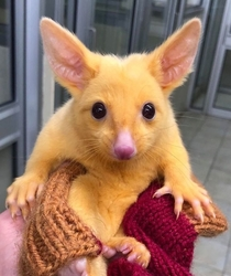 Australian Veterinary Clinic Rescues A Rare Golden Possum