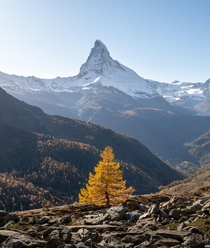 Autumn in Switzerland Golden larch with the snowy Matterhorn in the background Picture taken last fall during a two day trip in Zermatt