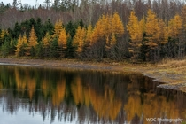 Autumn Larches Along The Lake  Victoria Park Truro Nova Scotia Canada