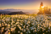avalanche lilies bloom in olympic mountains northwestern usa photographer danny seidman