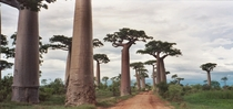 Avenue of the Baobabs Madagascar by Pat Hooper