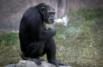 Azalea a -year-old female chimpanzee whose Korean name is Dallae smokes a cigarette at the Central Zoo in Pyongyang North Korea