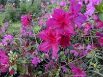 Azaleas from earlier this year OC