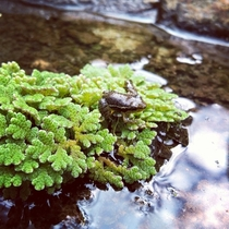 Azolla ferns and froggo from Laquipampa Wildlife Reserve OC