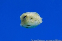 Babies longhorn cowfish Lactoria cornuta are amongst the cutest creatures you can find in the sea  Its horns arent visible yet but you can see the star-shaped arrangement of the bony plates found on its body