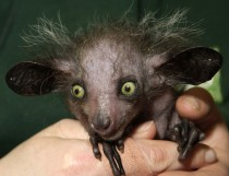 Baby Aye-Aye Daubentonia madagascariensis the worlds largest nocturnal primate