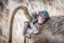 Baby baboon Papio anubis resting on his mother