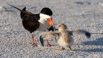 Baby Bird - Time for breakfast --Black Skimmer mom feeds baby