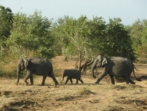 Baby elephant escorted by two elephants - Udawalawe National Park Sri Lanka
