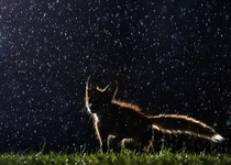 Baby Fox In the Rain by Vladislav Kamenski