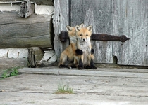 Baby Foxes By Wenda Atkin