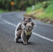 Baby Koala on its mothers back