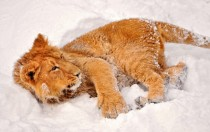 baby lion in the snow