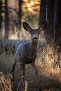 Baby mule deer being playful