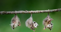 Baby opossum Didelphis virginiana hanging from tree branch photo by Frank Lukasseck