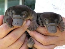 Baby Platypuses x-post from rpics