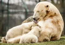 Baby polar bear twins head outside for the first time at the Dierenrijk Zoo