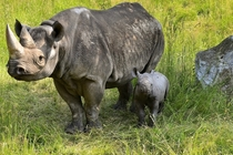 Baby Rhino with its mother at the zoo