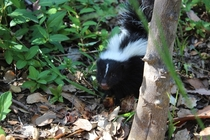 Baby Skunk getting curious