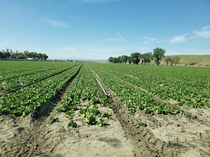 Baby Spinach in the Salinas Valley