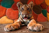 Baby Tiger so cute