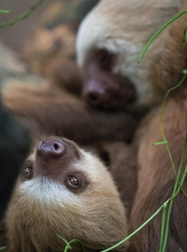 Baby two-toed sloths