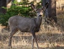 Baby white-tail deer munching in Yellowstone