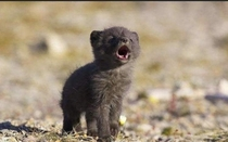 baby wolf doing his first awoo