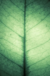 Backlit Gaultheria Shallon leaf