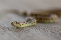 Backyard Gopher Snake  Mojave Desert