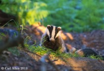 Badger in the shadows meles meles -