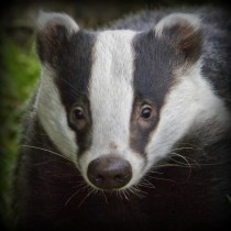 Badger Meles meles Portrait by Wendy Salisbury