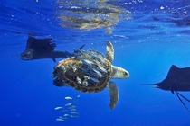 Baitfish skillfully use sea turtle as cover Photo by Scott Belt