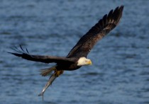 Bald Eagle at Conowingo Dam Maryland