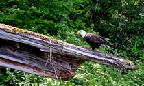 Bald Eagle Encounter While Kayaking by Mt St Helens WA  album in comments