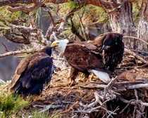 Bald eagle family by Terrebonne OR