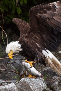 Bald Eagle having lunch Glacier Bay Wilderness Area Alaska  photo by David Bahr