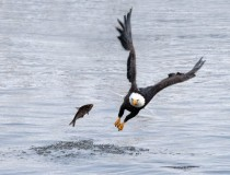 Bald Eagle loses a fish