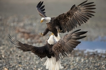 Bald eagles battle over fish