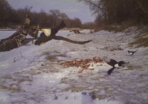 Bald eagles fighting over a deer carcass  by Sean Metzger