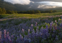 Bald Hills Lupine and Fog Redwood National and State Parks California