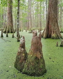 Baldcypress Taxodium distichum at Big Thicket National Preserve in Texas