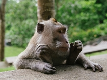 Balinese long tailed macaque Macaca fascicularis sitting comfortably  OCOS